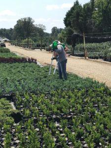 2 nursery employees using fertileeze with potted plants